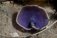 Sea Lilly Royalty Free Stock Photo