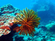 Sea lily Stock Images