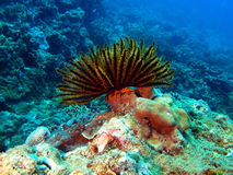 Sea lily Royalty Free Stock Photo