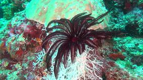 Sea lily black red on background of clear seabed underwater of Maldives. stock video