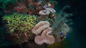 Sea lily Crinoids among coral and fish in the sea. Amazing, beautiful underwater world Bali Indonesia and  life of its inhabitants, creatures and diving stock video footage