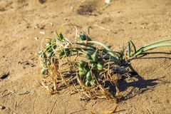 Sea lily grass and fruits on a sandy beach of Cyprus island Pancratium maritimum or sea daffodil royalty free stock image