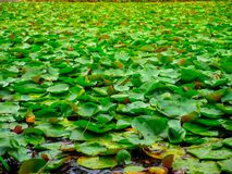 Sea of Lily Pads stock image