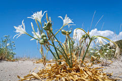 Sea lily ,Pancratium maritimum, Royalty Free Stock Photo