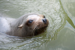 Sea Lion. A sea lion sticking its head out of the water Stock Image