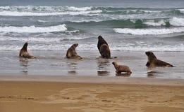 Sea-lion στοκ φωτογραφίες