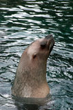 Sea lion. Surfacing stock photography