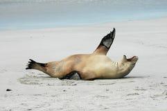 Sea-lion. Seal Bay Australian Sea-lions Stock Photo