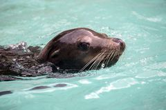 Sea-lion στοκ εικόνες
