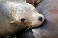 Sea-lion στοκ φωτογραφία με δικαίωμα ελεύθερης χρήσης
