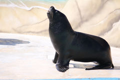 Sea lion. A sea lion basking in the sun Stock Photo