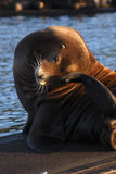 Sea Lion. A female sea lion scratching her head. These mammals have made this fishing port marina their home Stock Photography