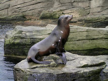Free Sea Lion Royalty Free Stock Images - 1167049