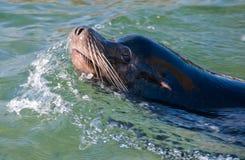 Sea-Lion Stock Images