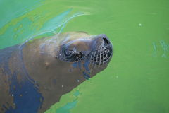 Sea lion. Royalty Free Stock Photos