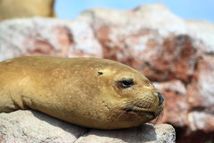 Sea lion. Portrait of sea lion resting on rocks Stock Photography