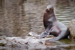 Sea-Lion. A sea-lion sitting on a rock Royalty Free Stock Photo