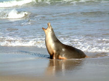 Seal on a beach. Seal with an open mouth on a beach with waves breaking in the background Stock Image