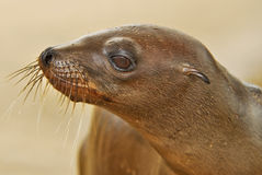 Sea Lion Stock Photo