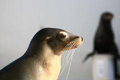 Sea lion. Profile with an other in background Royalty Free Stock Images