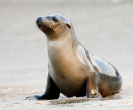 Free Sea Lion Royalty Free Stock Photography - 13598657