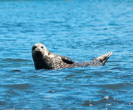 Sea Lion. In Monterey Bay Royalty Free Stock Images