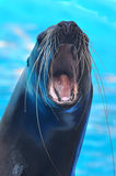 Sea lion. Barking in the pool Stock Photography