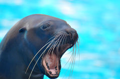 Sea lion. Barking in the pool Stock Image
