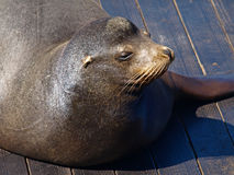 Sea Lion. This is a Picture of Sea Lion Stock Images