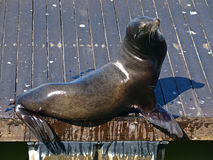Free Sea Lion Stock Photos - 14131823