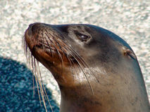 Sea Lion. Close Up of a Sea Lion from the Galapagos Islands royalty free stock images