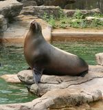 Sea Lion. Sitting on rock royalty free stock photography