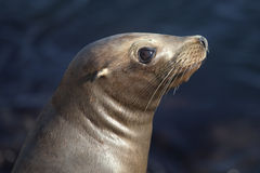 Free Sea Lion Royalty Free Stock Photos - 15007518