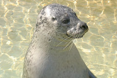 Sea Lion. A Sea Lion with it's head out of water royalty free stock images