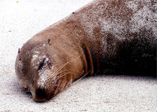 Sea lion. Sleeping in the sand Royalty Free Stock Images