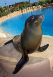 Sea lion Stock Image