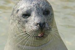 Sea Lion. A Sea Lion royalty free stock image