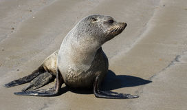 Sea lion. On beach close-up, new zealand Royalty Free Stock Photos