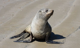 Sea lion. On beach close-up, new zealand Stock Photography
