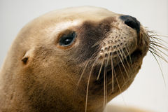 Sea lion. Head embalmed of sea lion Royalty Free Stock Photography
