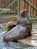 The sea lion. Stock Photography