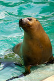 Sea Lion. S by the glistening blue water of summer stock images