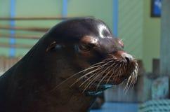 Sea lion. A portrait of a male california sea lion Royalty Free Stock Image