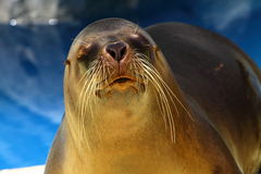 Sea Lion. Over blue background Royalty Free Stock Photos