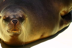 Sea Lion. Over blue background Stock Images