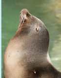 Sea-lion 2 Stock Image