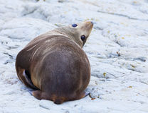Sea Lion. A Hooker's Seal Lion resting on a rock on the New Zealand coast Royalty Free Stock Image