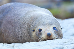 Sea Lion. A Hooker's Seal Lion resting on a rock on the New Zealand coast Stock Photography