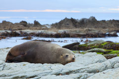Sea Lion. A Hookers Seal Lion resting on a rock on the New Zealand coast Royalty Free Stock Photos