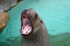 Sea Lion. A sea lion in a habitat Stock Photos